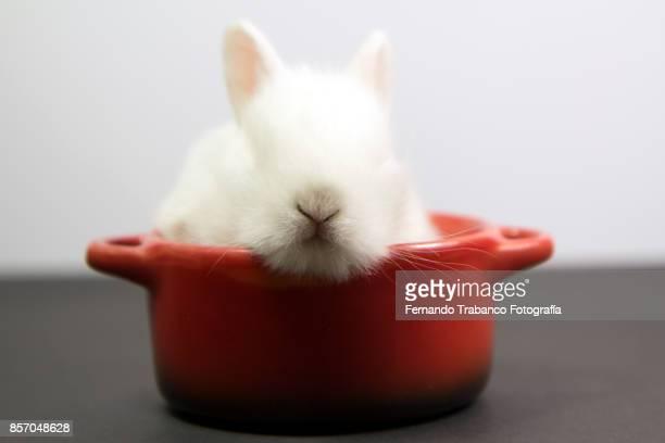 Dwarf rabbit inside a cooking pot