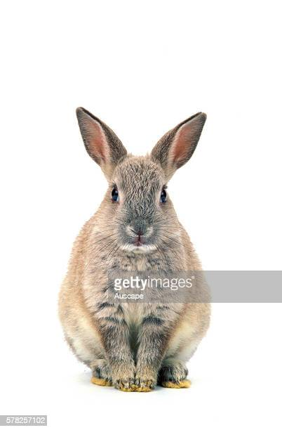Dwarf rabbit Oryctolagus cuniculus domesticus against white background Studio photograph