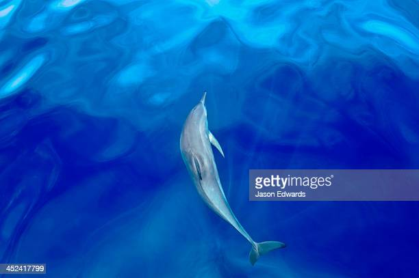 A Dwarf Spinner Dolphin swimming through God Rays beneath the surface.