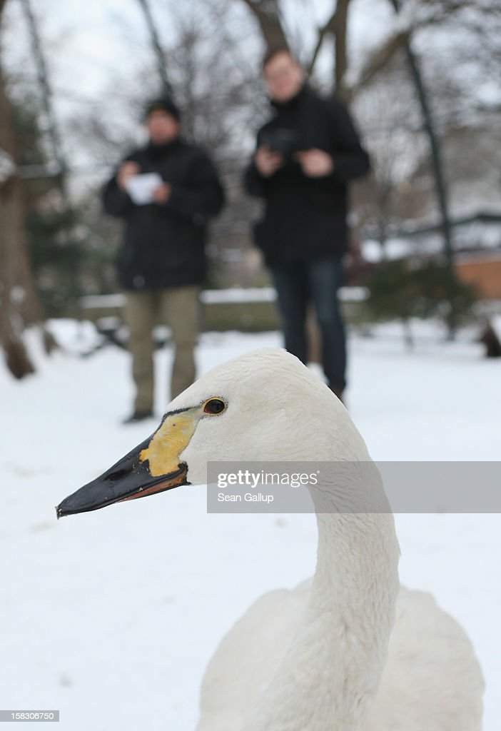 A dwarf swan meanders by as zookeeper Yancy Rentz (L) and biologist Benjamin Ibler count ducks in a bird enclosure during the annual animal inventory at Zoo Berlin zoo on December 12, 2012 in Berlin, Germany. The zoo conducts the once-a-year inventory over a period of several months, depending on the species, to assess such factors as the state of animal colonies, the presence of foreign species and the true number of species and their members.
