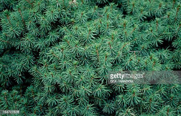 Dwarf White Alberta Spruce leaves Pinaceae