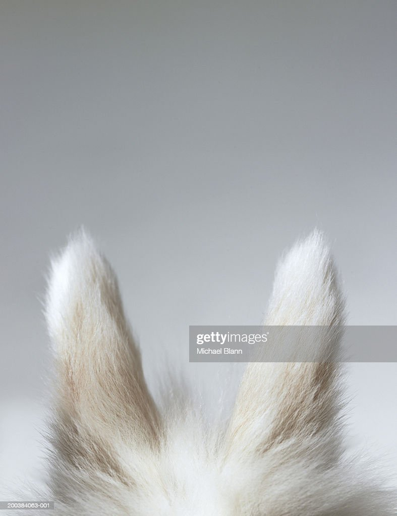 Dwarf-eared rabbit against grey background, high section