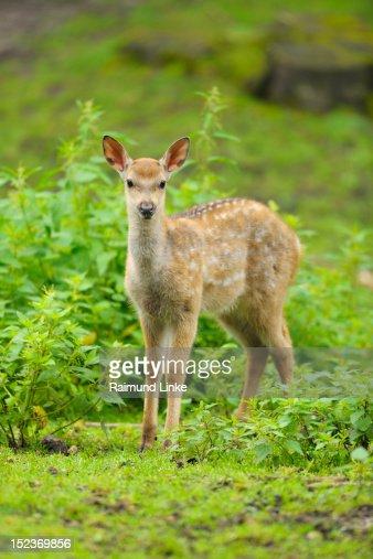 Dybowski Deer : Stock Photo