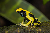 Dyeing poison arrow frog on the ground of the rainforest