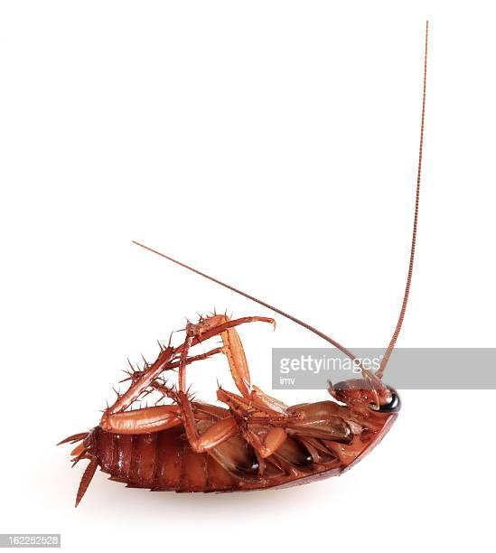 ゴキブリ白色の背景に授ける