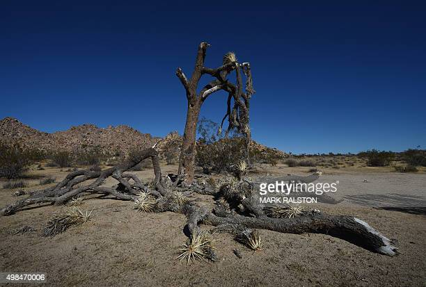 A dying Joshua Tree as the drought continues to affect the state in Joshua Tree National Park California on November 22 2015 California's epic...