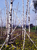 Dying trees near chemical plant