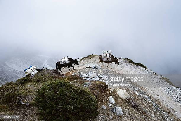 Dzopkio / Zopkio carrying supplies along a ridege line just out of Thame village on September 23 2016 in Thame Nepal The trails in the SoluKhumbu...