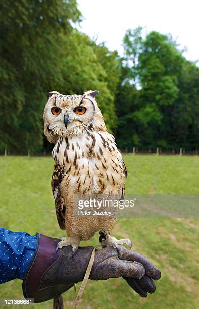 Eagle barn owl being trained