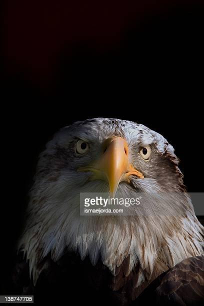 Eagle close up portrait