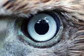 Eagle eye close-up, macro, eye of young Goshawk (Accipiter gentilis).