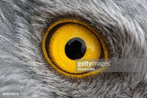 Eagle Eye Closeup Makrofoto Auge Des Mannlichen Northern Harrier Stock Foto Thinkstock
