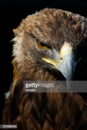 Eagle Eye : Stock Photo