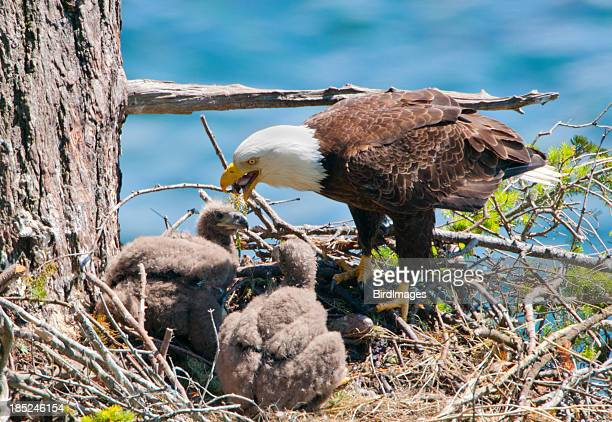 Eagle Feeding Chicks in Nest