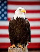Eagle in Front of United States Flag