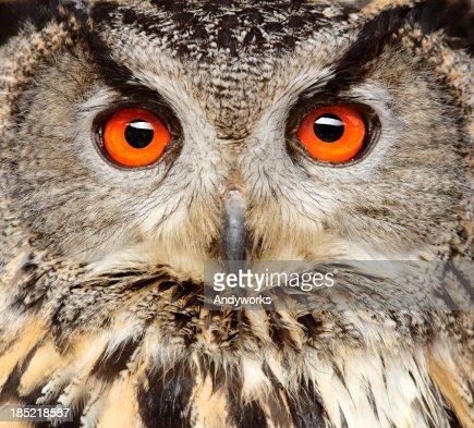 Eagle Owl Close Up