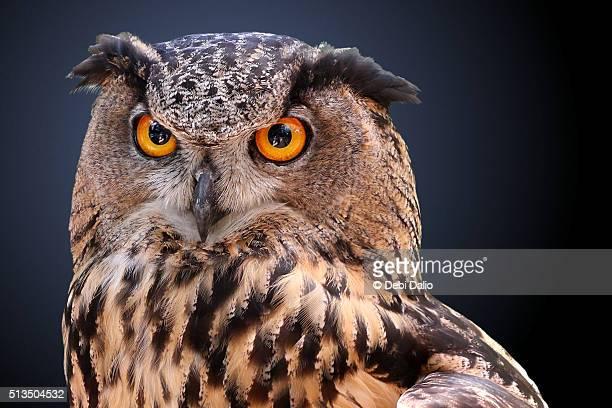Eagle Owl Close-up Portrait