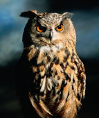 Eagle owl (Bubo bubo), dark background (Digital Composite)