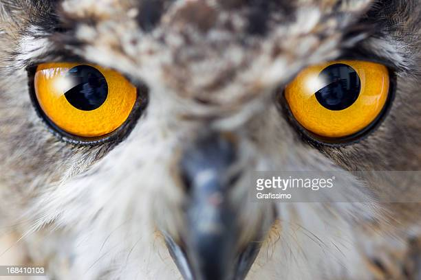 Eagle owl details of eyes