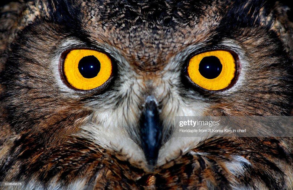 Eagle owl eyes : Stock Photo
