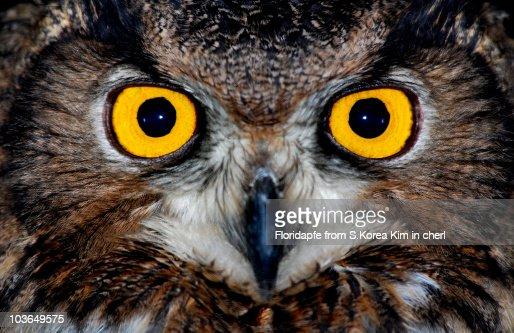 Eagle owl eyes