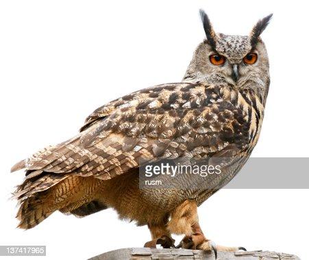 Eagle owl on white background