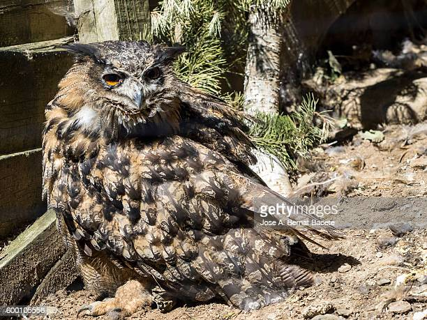 Eagle Owl, (Bubo bubo), rolling about for the soil   , Pyrenees, France.