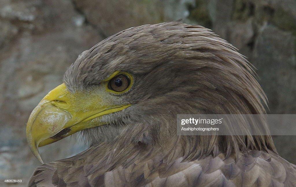 Eagle : Stockfoto