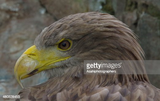 Eagle : Stock Photo