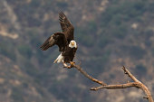 American Bald Eagle at Los Angeles foothills