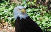 Eagle white head