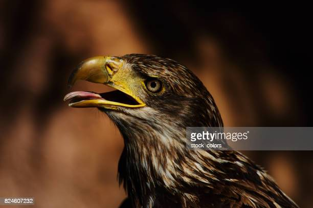 eagle with open beak