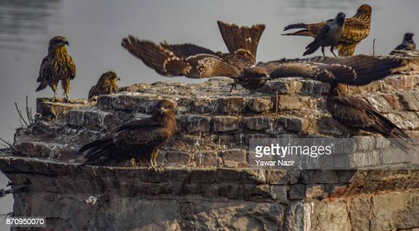 Eagles rest on a dismantled bridge in a market on November 06 2017 in Srinagar the summer capital of Indian administered Kashmir India Markets in the...