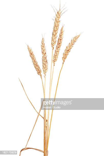 Ear grain of wheat on a white background