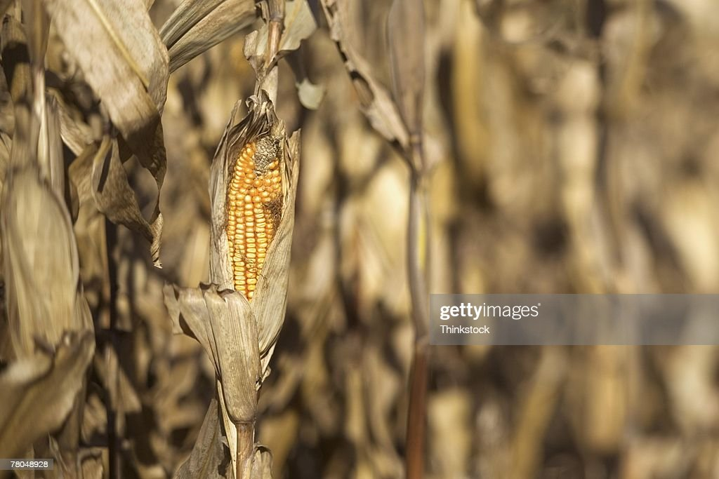 Ear of corn remaining after harvest