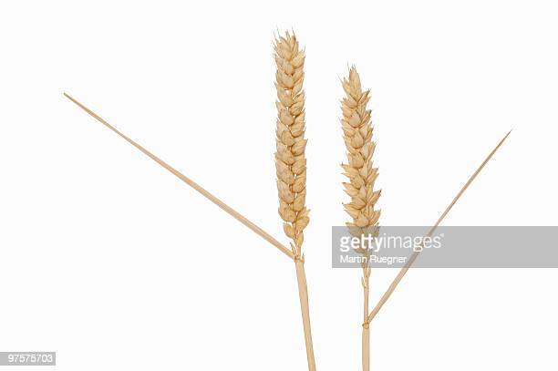 Ear of wheat, white background.