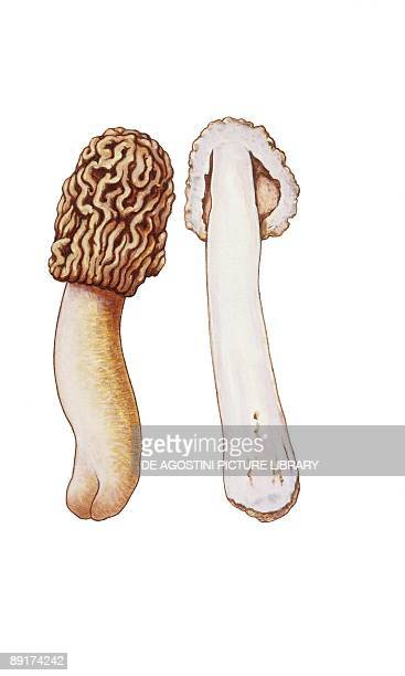 Early morel illustration