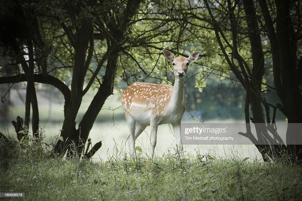 Early morning at the deer park : Stock Photo