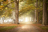 A pathway leading though a cemetery on a foggy fall morning.
