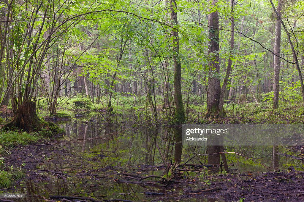 Early morning in deciduous stand of Bialowieza Forest : Stock Photo