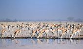 Early morning springbok at the waterhole