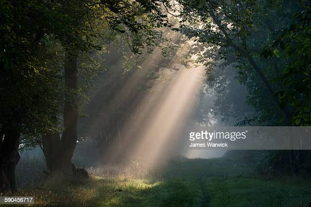 Early morning sun rays filtering through woods