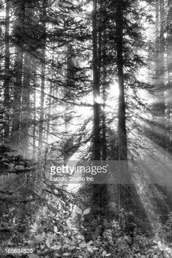 Early morning sun rays in a forest : Stock Photo