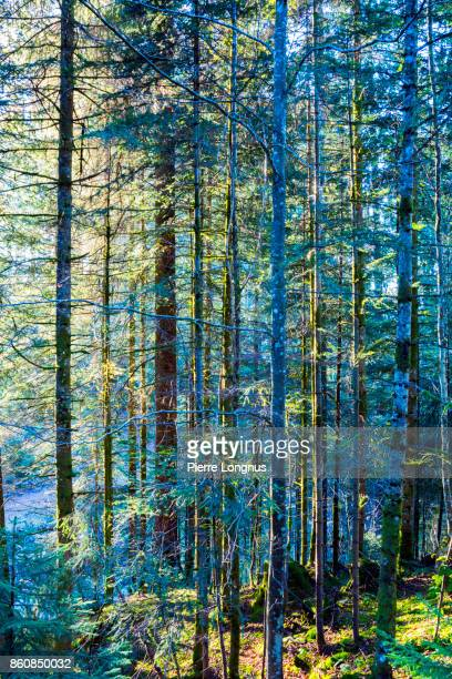 Early morning sun shining through trees either forest at the foothills of Moleson Mountain, The tallest mountain in Gruyere. Bulle Switzerland