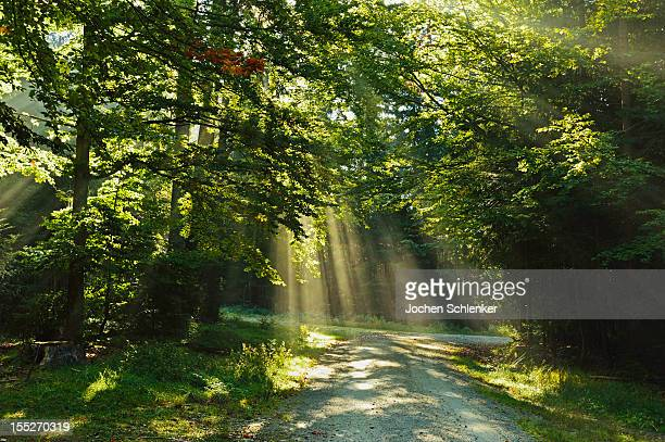 Early morning sunrays in the forest