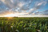 Corn - Crop, Corn, Farm, Sunset, Field