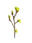 Early spring. Awakening of a new life. Branch of small young oak isolated on the white background. Oak is a tree of the beech family, Fagaceae. Buds. Budding leaves