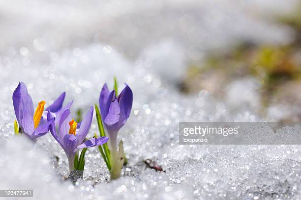 Early Spring Crocus in Snow series