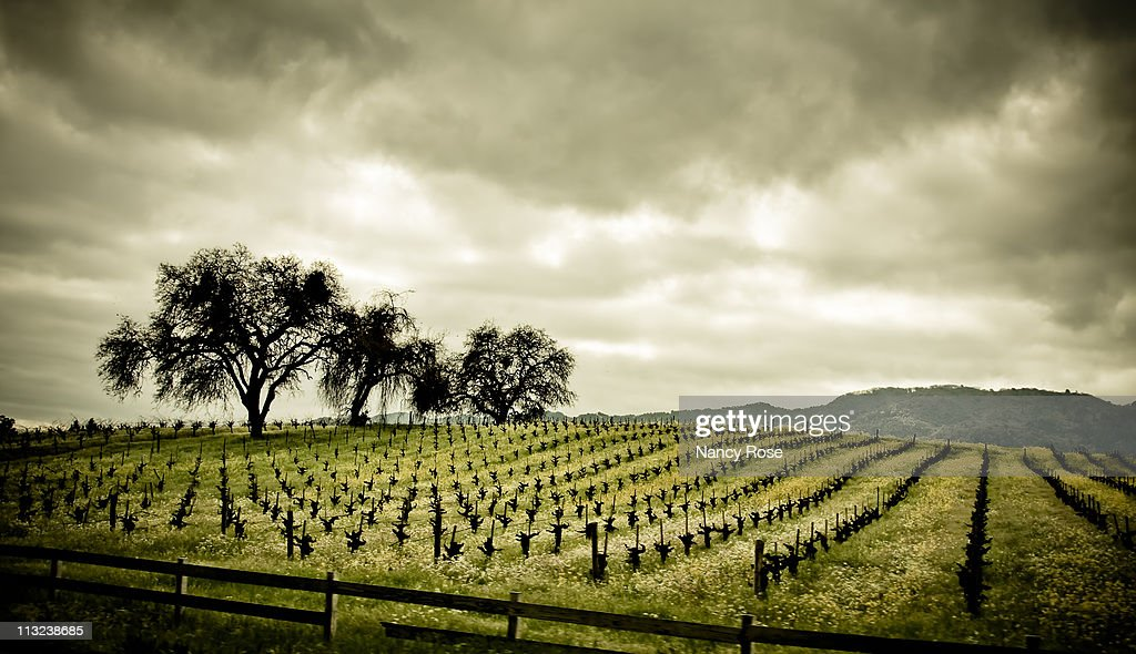 Early spring grapesvines in Napa Valley
