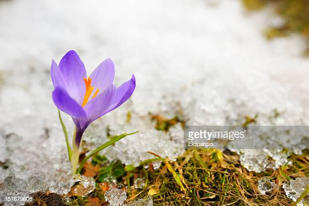 Early Spring Purple Crocus Flower in Melting Snow